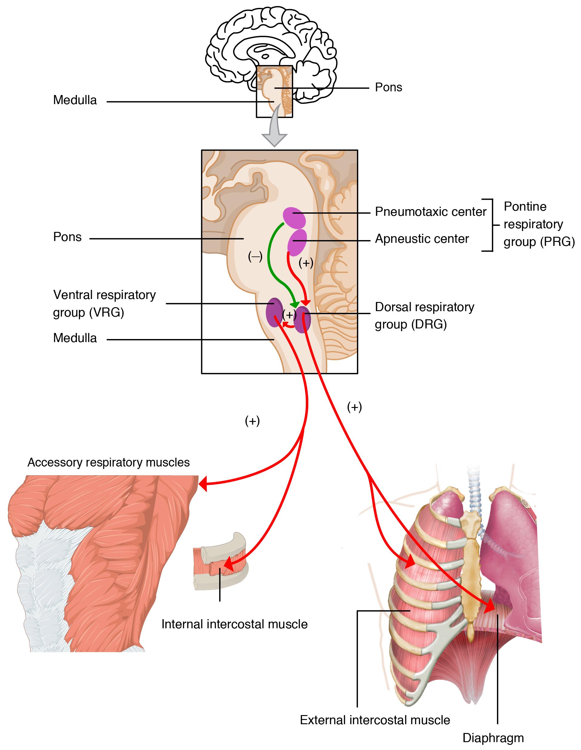 98a2031b5c Die Physiologie der Atmung
