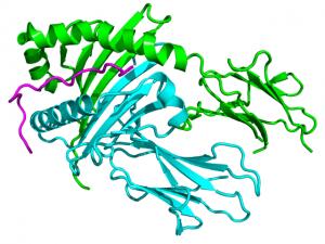 Kristallographische Struktur von HLA- DQA1 (cyan) mit HLA- DQB1 (grün) und HCRT (magenta) komplexiert basierend auf PDB 1uvq .