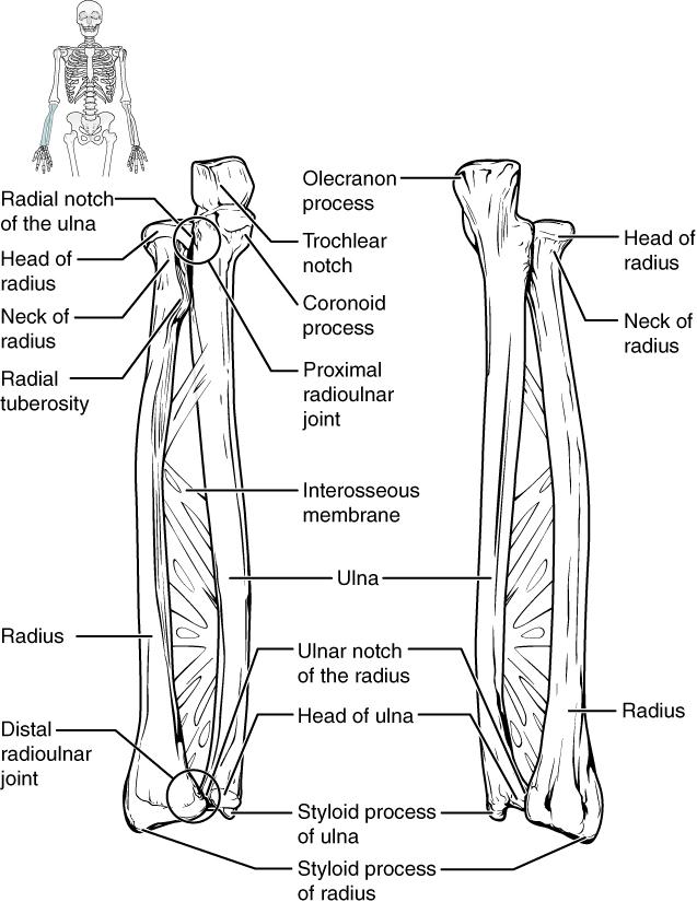 Ellenbogengelenk – Anatomie der oberen Extremität