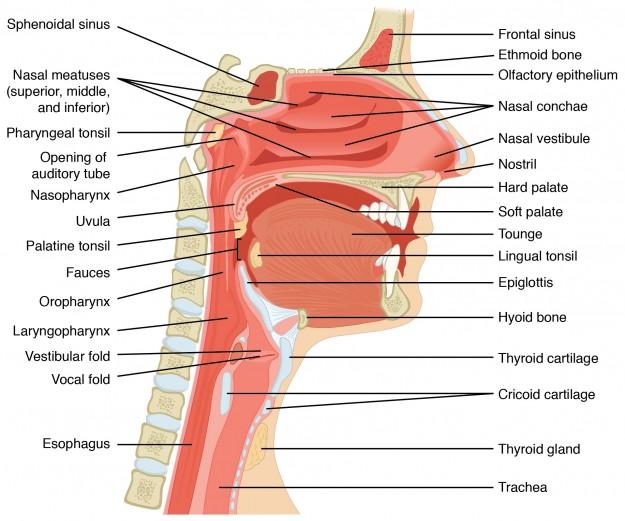Anatomy of Nose Pharynx Mouth Larynx