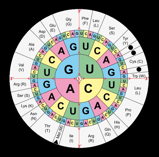 DNA Transkription und DNA Translation – Vom Gen zum Protein