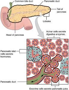 Exokriner und Endokriner Pankreas