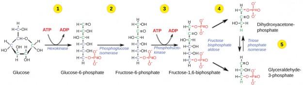 Glykolyse Phase 1-5