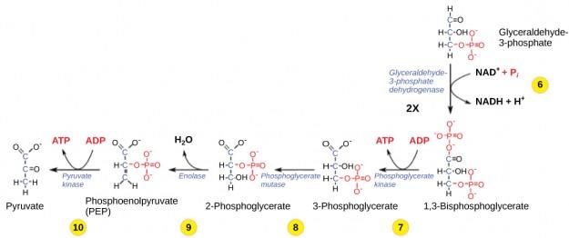 Glykolyse Phase 6-10