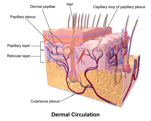 Haut-Zirkulation