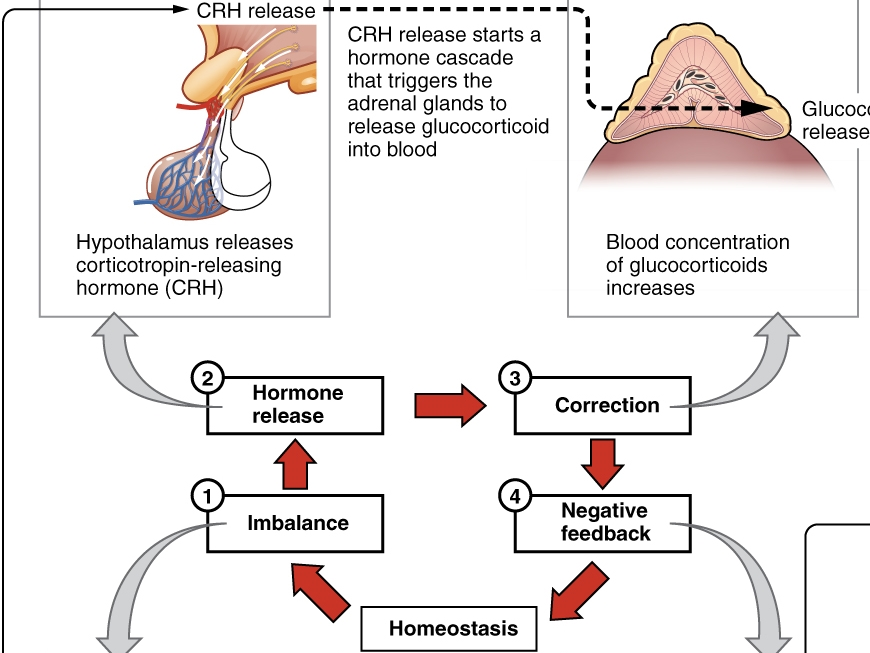 HPA-Achse (Hypothalamus-Hypophysen-Nebennierenrinden-Achse)