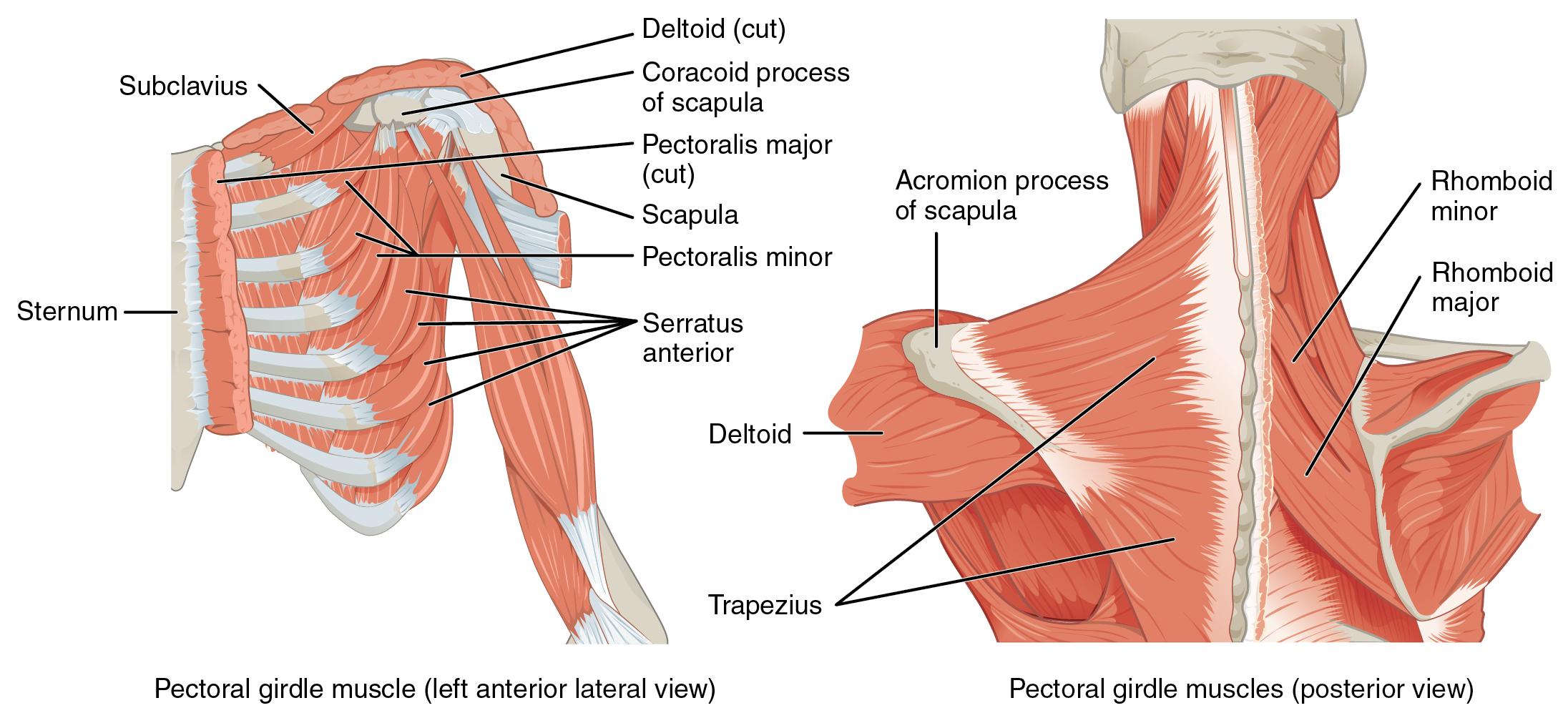 Eingewanderte Rückenmuskulatur – Anatomie des Rumpfes