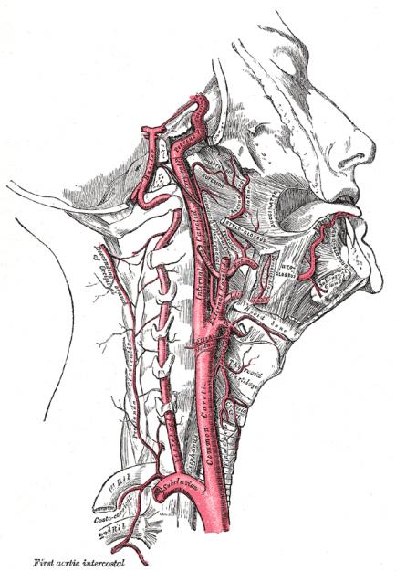Rechte Arteria carotis