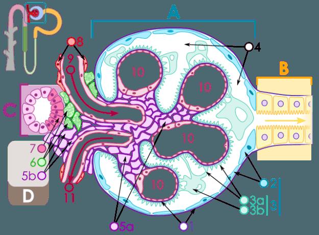 Schematischer Aufbau des Nierenkörperchen