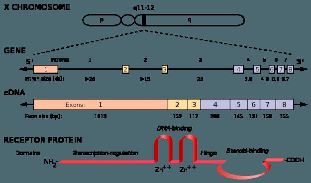 androgenrezeptor