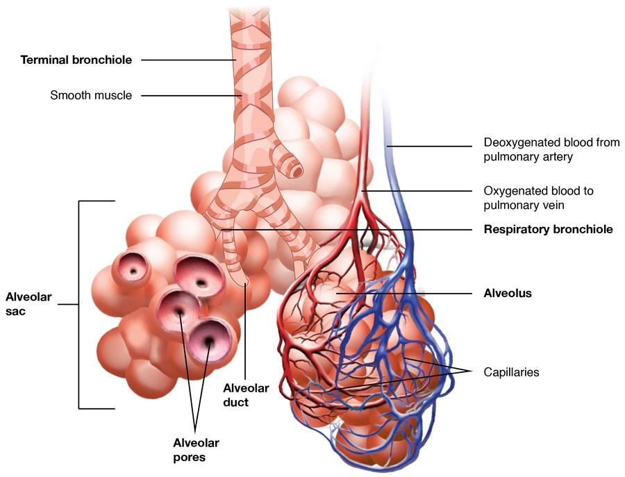 Respiration – Lungenatmung & Anatomie der Atemmuskultur