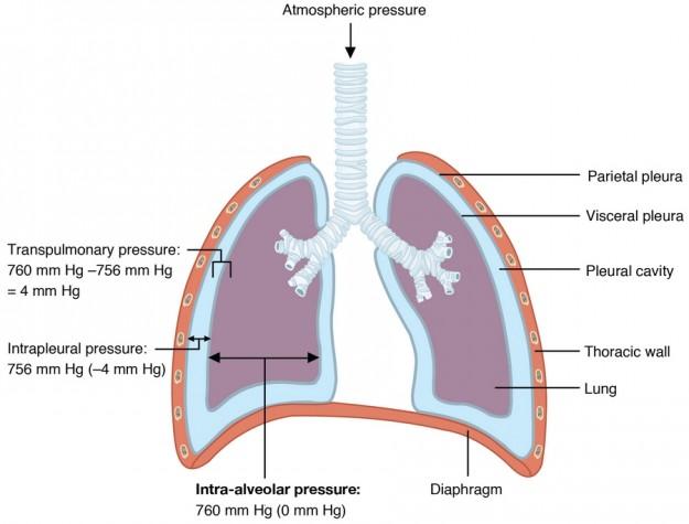 diese abbildung zeigt den intrapleuralen und intrapulmonalen Druck