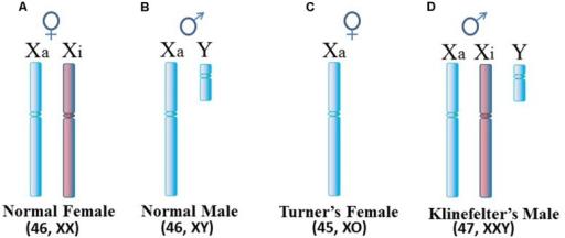 menschliche-geschlechtschromosomen