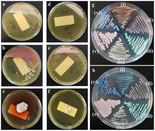 verschiedene Candida-Spezies auf Chromagar