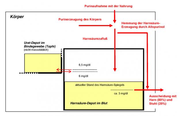 Modell des Purin-Harnsäure-Stoffwechsels des Menschen