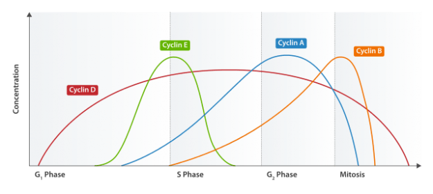 Cyclinexpression während Zellzyklus