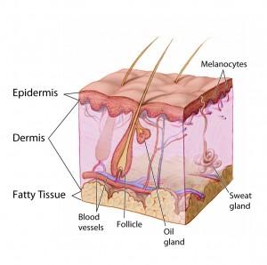 Haarwurzel mit Talgdrüse (oil gland)