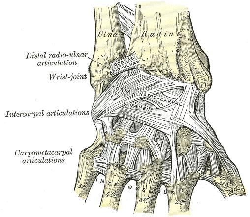 Das Handgelenk - Anatomie der oberen Extremität
