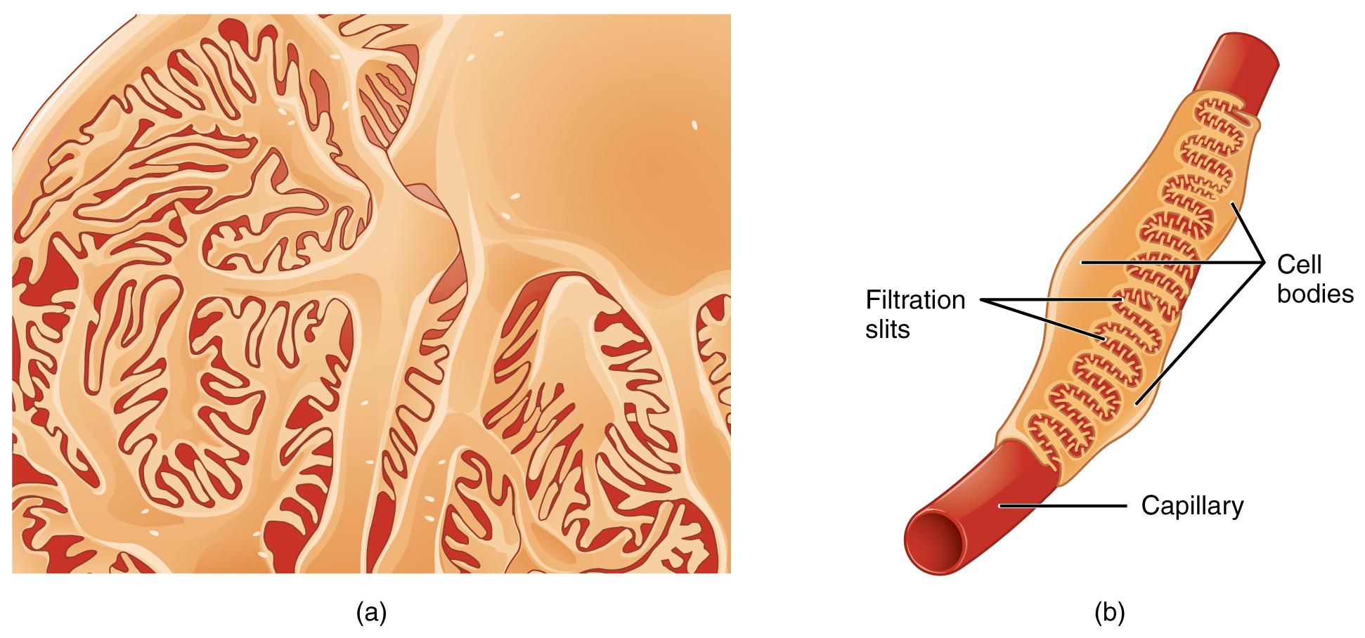 Histologie der Niere – Von der Rinde bis ins Mark