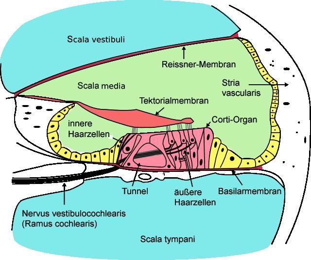 Innenohrerkrankungen: Tinnitus & Schwerhörigkeit