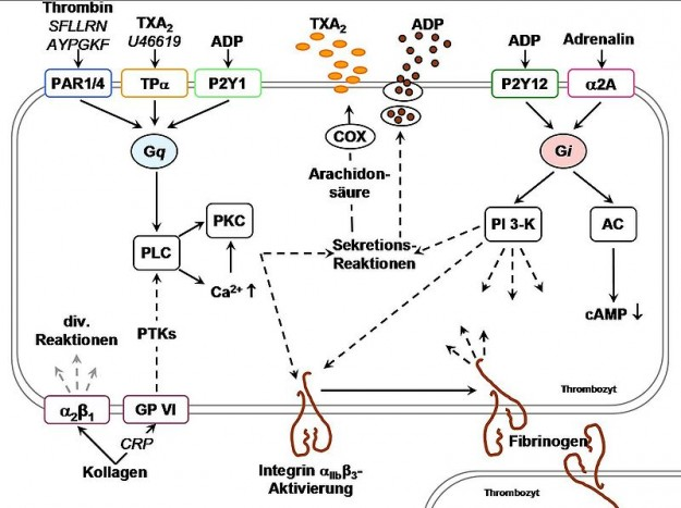Thrombozytenaggregation