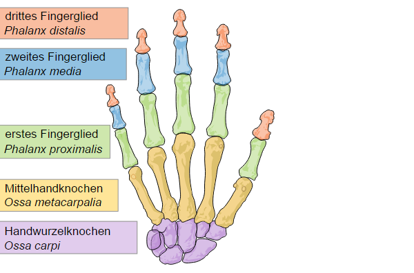 Fingergelenke & Daumengelenke - Anatomie der oberen Extremität