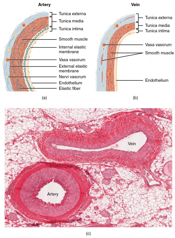 Schematische Darstellung zeigt den Vergleich zwischen Arterien und Venen