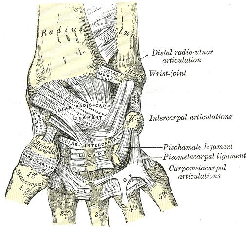 Das Handgelenk Anatomie Der Oberen Extremität