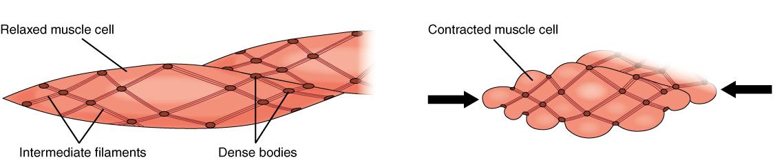Kontraktion der glatten mMuskulatur