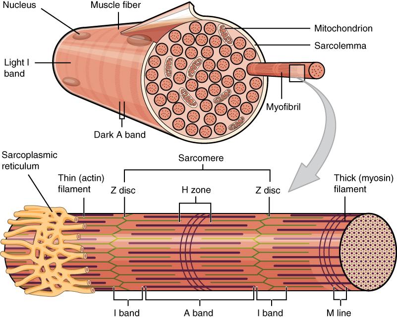 Muskelphysiologie: Muskelkontraktion, Querbrückenzyklus & Krafterzeugung
