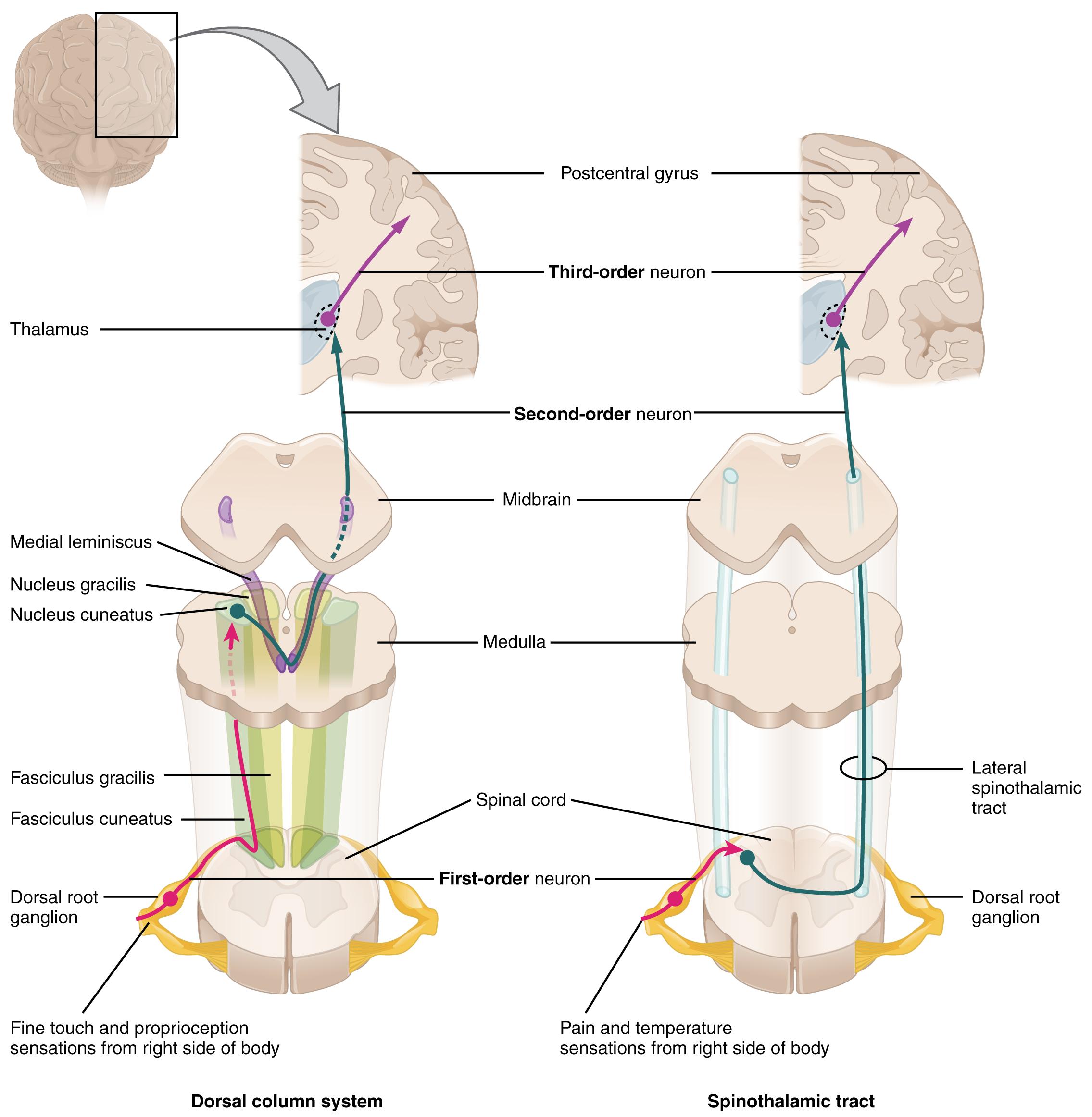 Motorisches und sensorisches System des Gehirns |Lecturio
