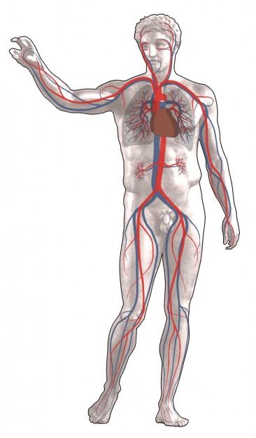 diese grafik zeigt den blutkreislauf des menschen