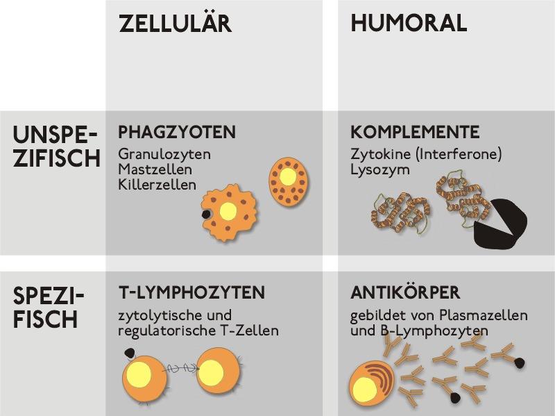 Immunabwehr humorale was ist Unterschied zwischen