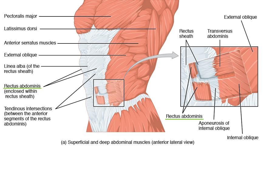Abdominal- und Thoraxmuskulatur – Anatomie des Rumpfes