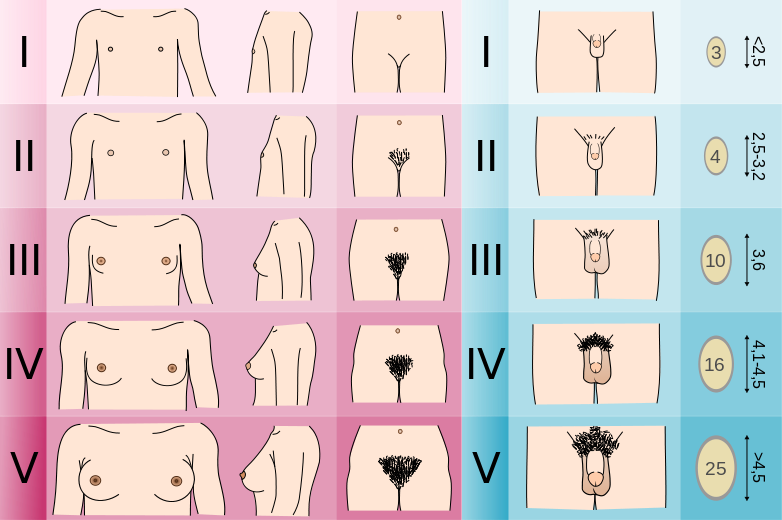 tanner geschlechtsentwicklung