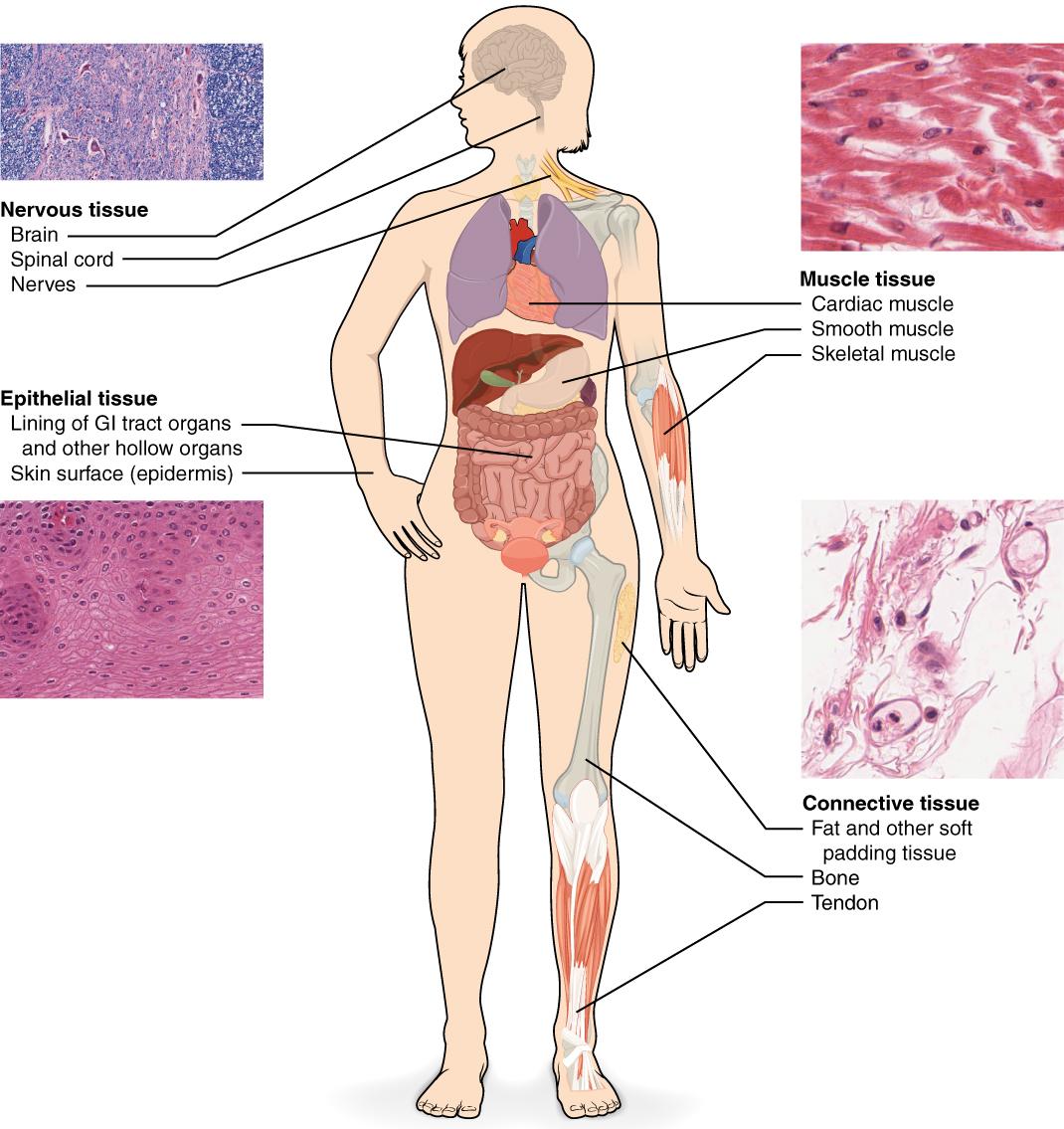 Das Gewebe – Die Gewebetypen im Überblick