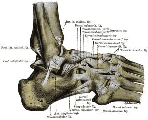 Das Sprunggelenk von der Seite mit allen Bändern im Anatomie-Atlas von Gray