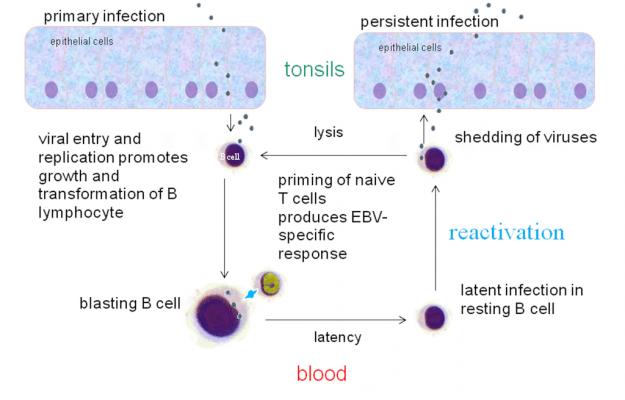 EBV-infektionszyklus