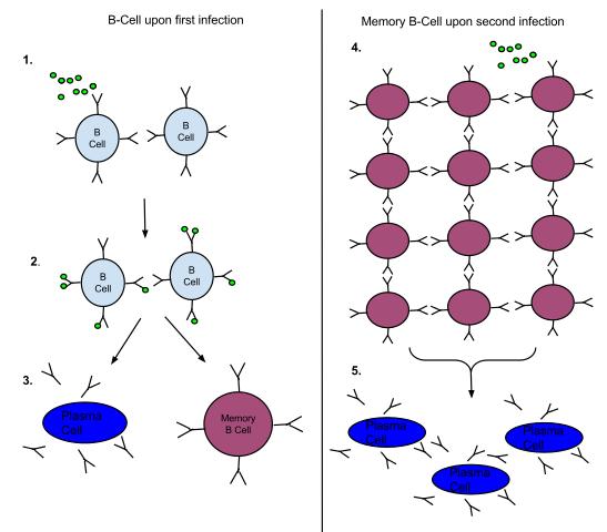Gedächtnis-B-Zellen Antwort