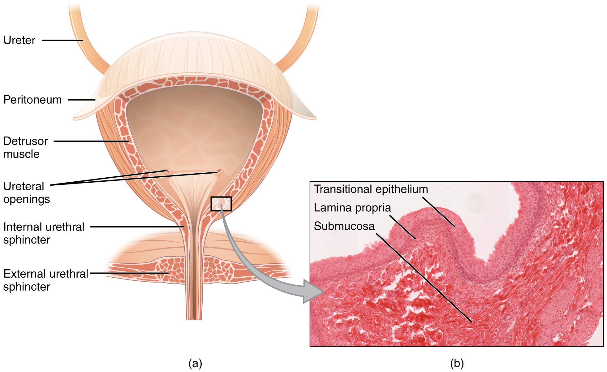 Harnleiter, Harnröhre, Harnblase – Das Urogenitalsystem