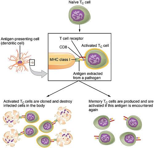 Klonale Selekion und Expansion von T-Lymphozyten