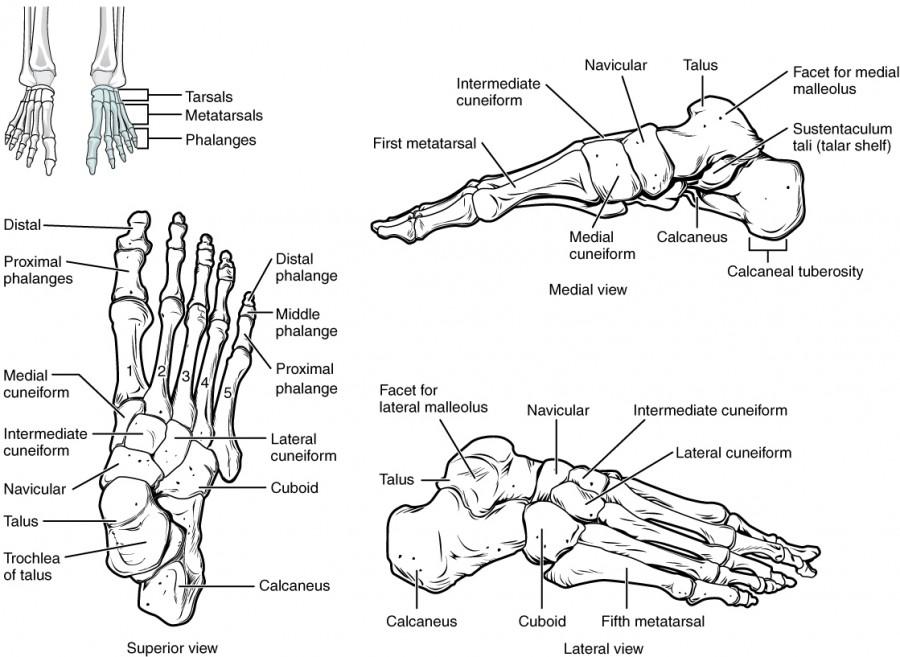 Anatomie der unteren Extremitäten: Fuß- und Zehengelenke