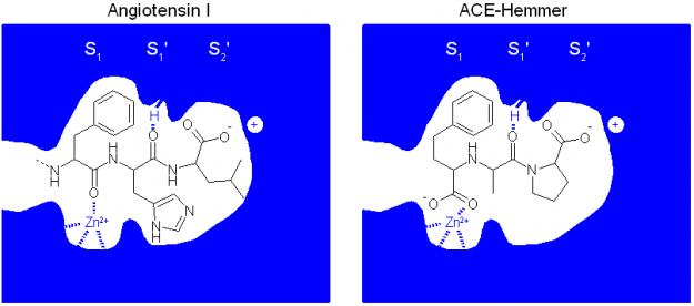 Molekularer Wirkmechanismus der ACE-Hemmer