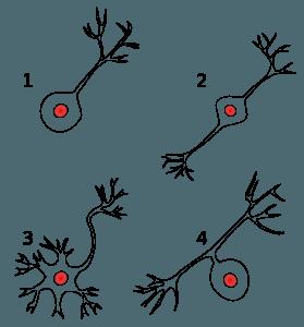 Neuronenarten