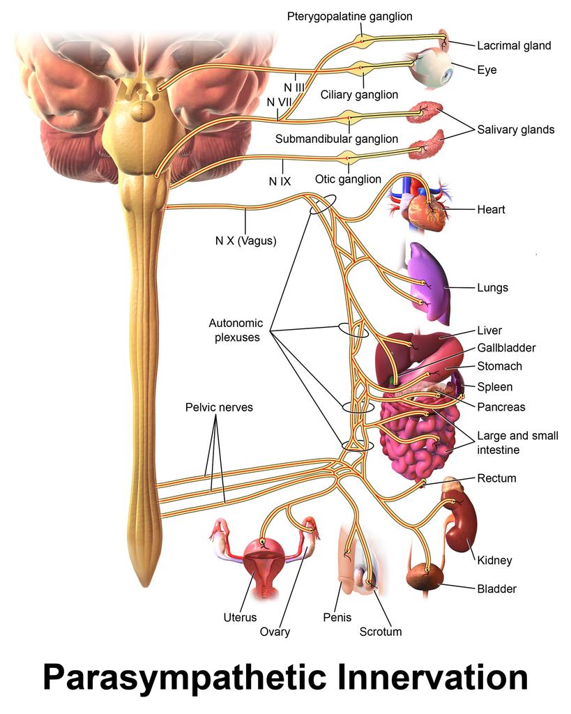 Beste Ganglion Nerven Galerie - Anatomie Und Physiologie Knochen ...