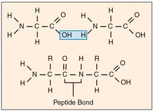 Peptidbindung
