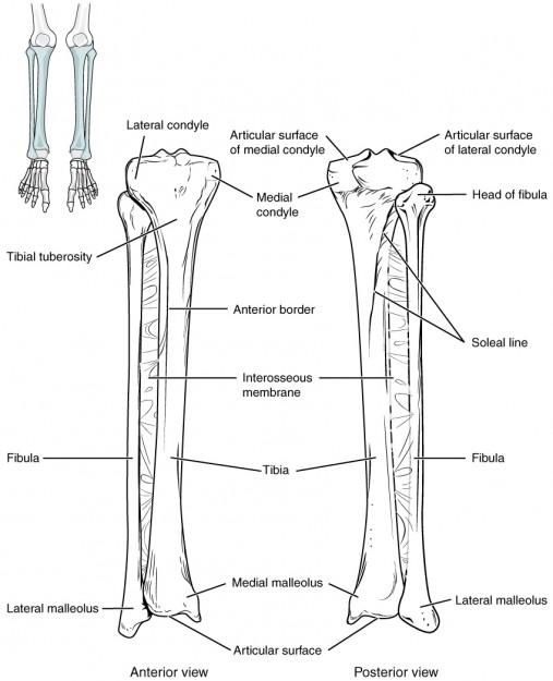 diese abbildung zeigt den aufbau der tibia und fibula