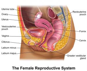 weibliche Geschlechtsorgane