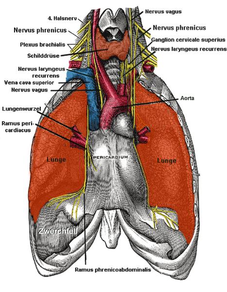 Diaphragma: Lage, Aufbau, Gefäße und Funktion