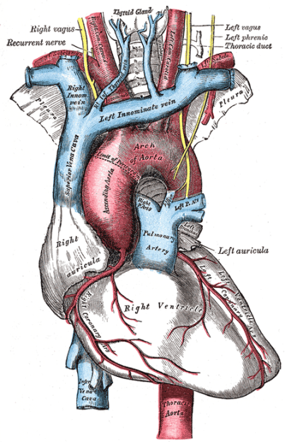 Gefäße und Nerven im Mediastinum superius